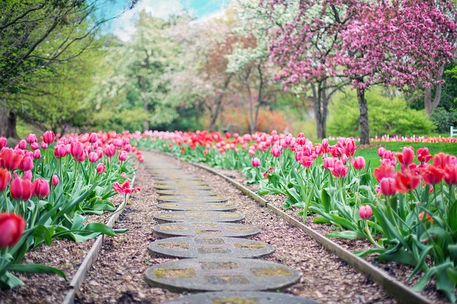 cesta mezi tulipány