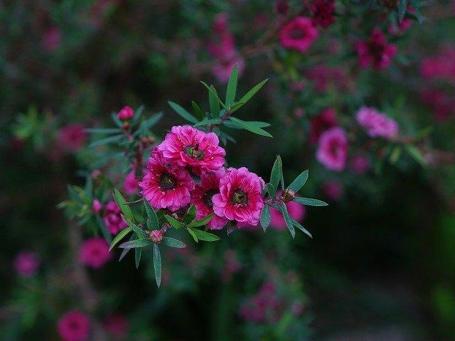 manuka květina